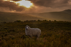 Wandbild Sheep in Fynbos