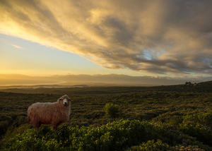 Wandbild Sheep in Walkerbay