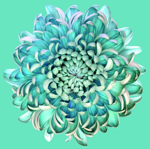 Wandbild Blue Chrysanth by Brian Haslam