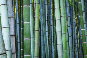 Wandbild Bamboo forest by Tim Draper, HUBER IMAGES