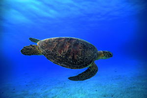 Wandbild Green Turtle In the Blue by  Barathieu Gabriel, 1x.com