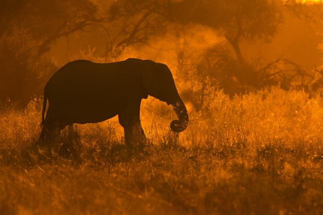 A silhouette of an elephant  dusting off shoots of grass in golden light in Savute. Whenever the scene presents itself I will shoot into the light in pursue of a
