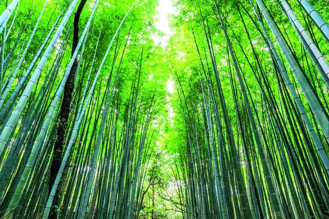 Wandbild Huber Images Arashiyama Forest By Maurizio Rellini Huber